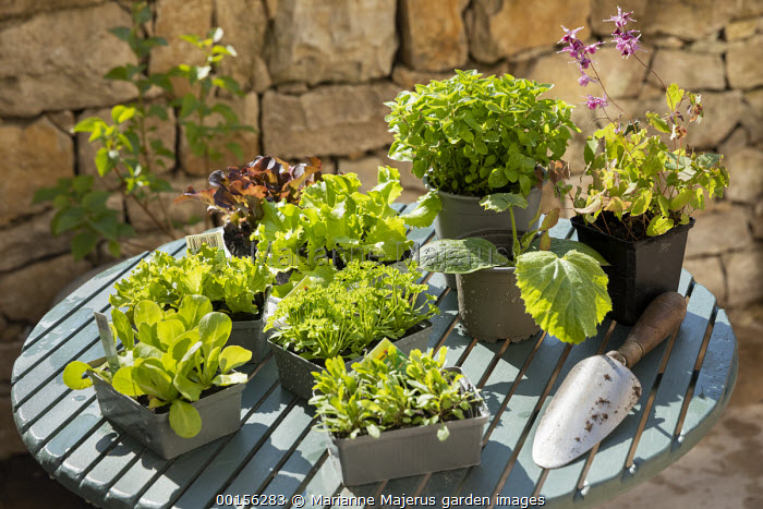 Courgette, rocket and lettuces in pots and seedtrays on table, trowel on table