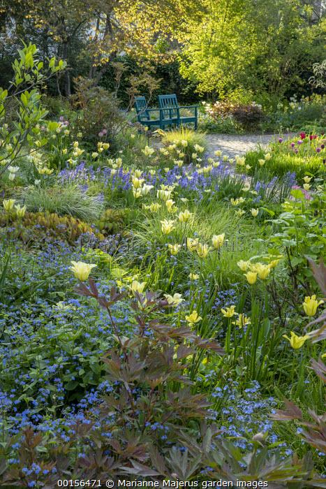 Camassia leichtlinii subsp. suksdorfii Caerulea Group, Tulipa 'Yellow Spring Green', myosotis, epimedium, bluebells, view to chairs by path