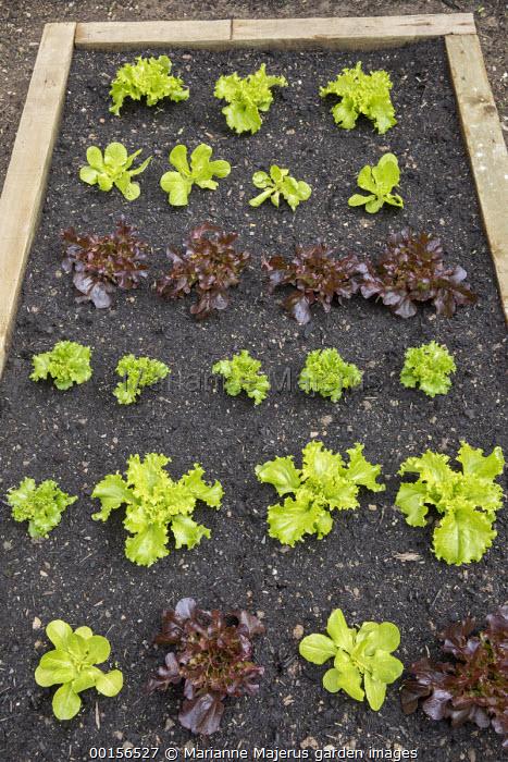 Rows of lettuce seedlings in wooden raised bed