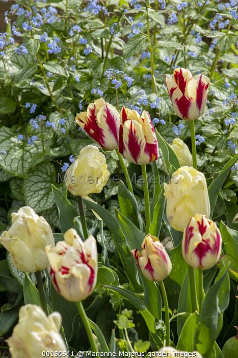 Tulips, Brunnera macrophylla 'Jack Frost'