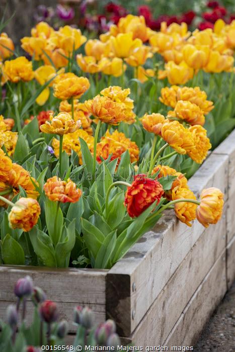 Tulipa 'Sunlover' in wooden raised bed