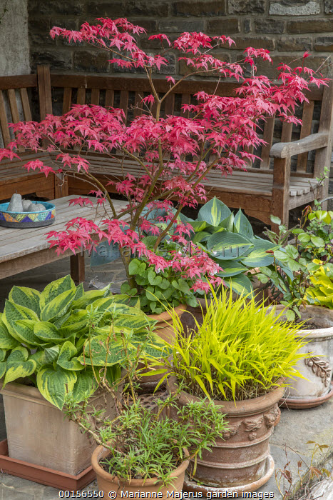 Acer palmatum 'Beni-maiko', Hakonechloa macra and hosta in terracotta containers on terrace, wooden table and bench