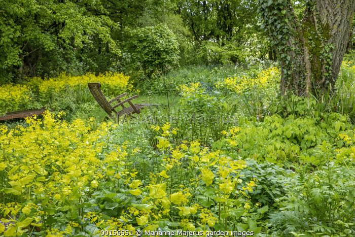 Woodland garden, Smyrnium perfoliatum, wooden chair, epimedium