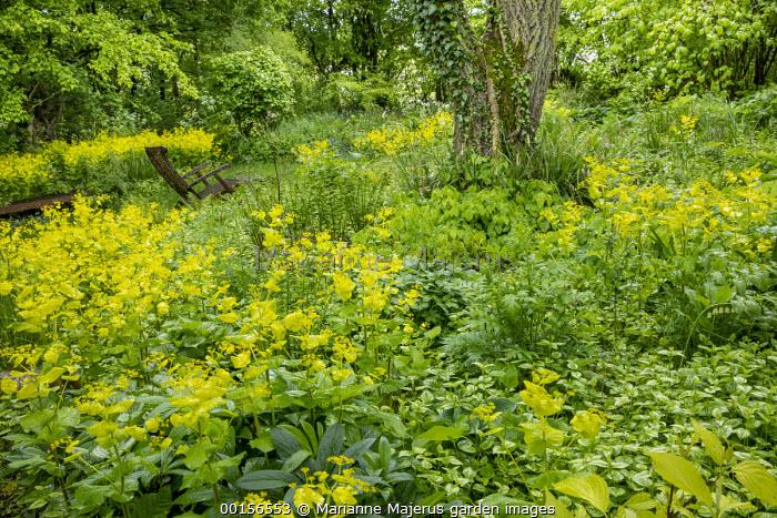 Woodland garden, Smyrnium perfoliatum, wooden chair