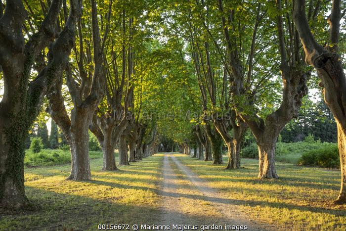 Track between avenue of Platanus x hispanica