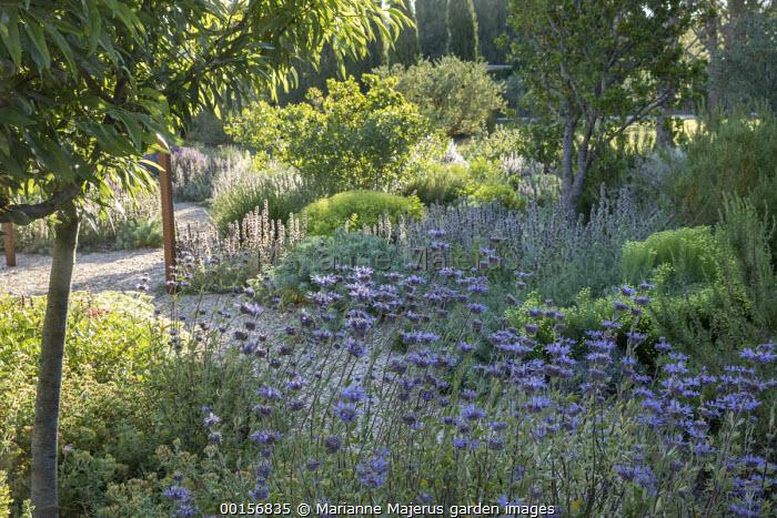 Salvia 'Allen Chickering' in mediterranean garden, Stachys cretica, Euphorbia rigida