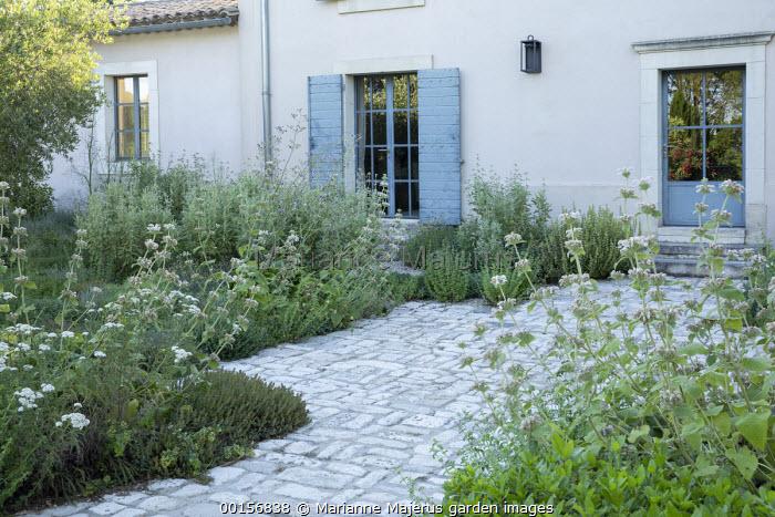 Phlomis bovei subsp. maroccana by stone patio