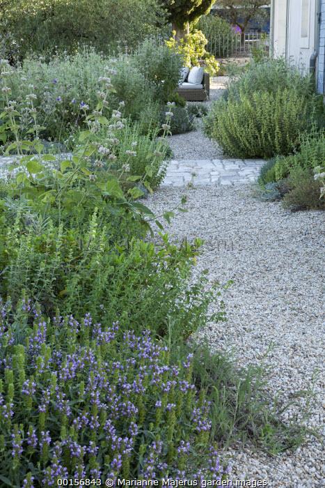 Gravel garden, Phlomis bovei subsp. maroccana