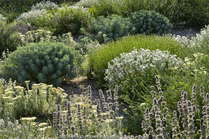 Achillea crithmifolia, Stachys cretica, Euphorbia rigida, lavender