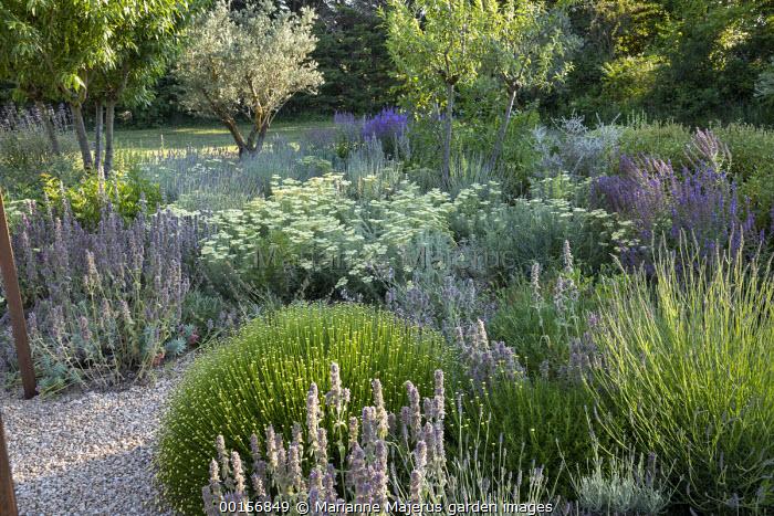 Stachys cretica, Achillea crithmifolia, Santolina viridis 'Primrose Gem', Salvia amplexicaule, lavender, olive and almond trees
