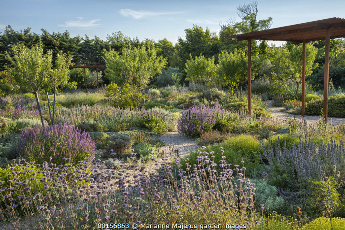 Gravel path through mediterranean border, Salvia 'Allen Chickering', Euphorbia rigida, Salvia amplexicaule, metal shelter, almond trees