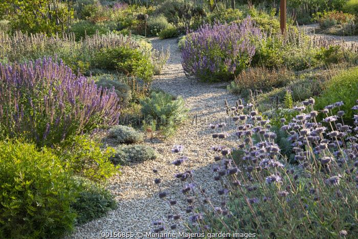 Gravel path through mediterranean border, Salvia 'Allen Chickering', Euphorbia rigida, Salvia amplexicaule