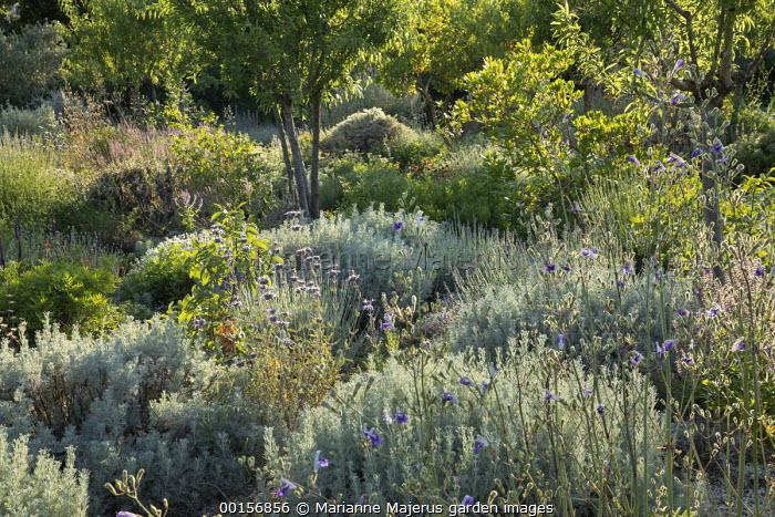 Artemisia alba, almond tree