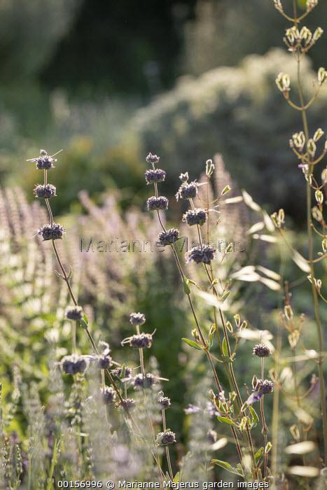 Salvia 'Allen Chickering' in mediterranean garden