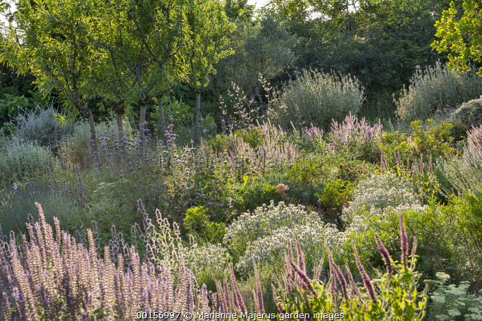 Mediterranean garden, Stachys cretica, lavender, Salvia 'Allen Chickering', Salvia amplexicaule, almond tree