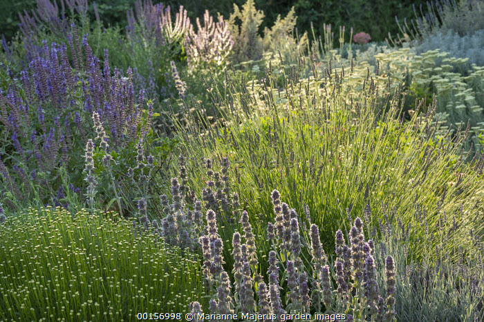 Stachys cretica,  Achillea crithmifolia, Santolina viridis 'Primrose Gem', lavender, Salvia amplexicaule