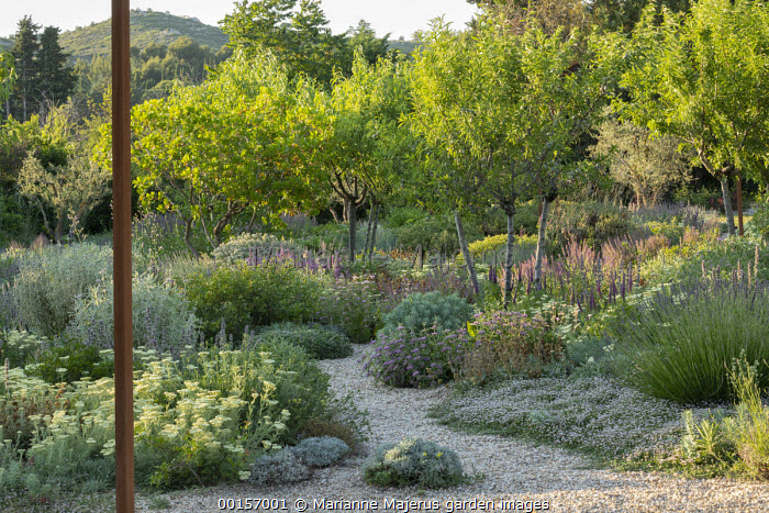 Gravel path, Phlomis herba-venti, Euphorbia rigida, Stachys cretica, Achillea crithmifolia, lavender, Phyla nodiflora, Phlomis purpurea subsp.almeriensis, almond trees