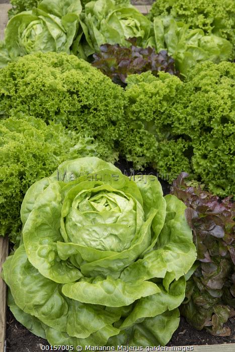 Lettuces 'Alhambra', 'Oakleaf' and 'Batavia' in raised lettuce border