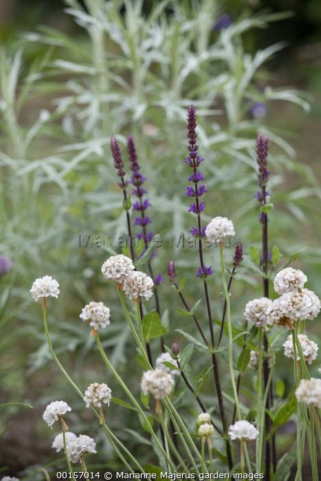 Artemisia ludoviciana 'Silver Queen', Armeria maritima 'Alba', Salvia nemorosa 'Caradonna'