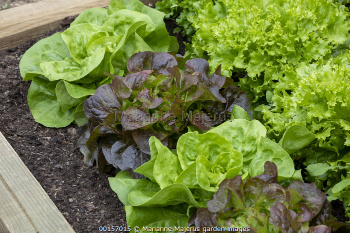 Mixed lettuces in raised bed, Lettuces 'Alhambra' and 'Batavia'