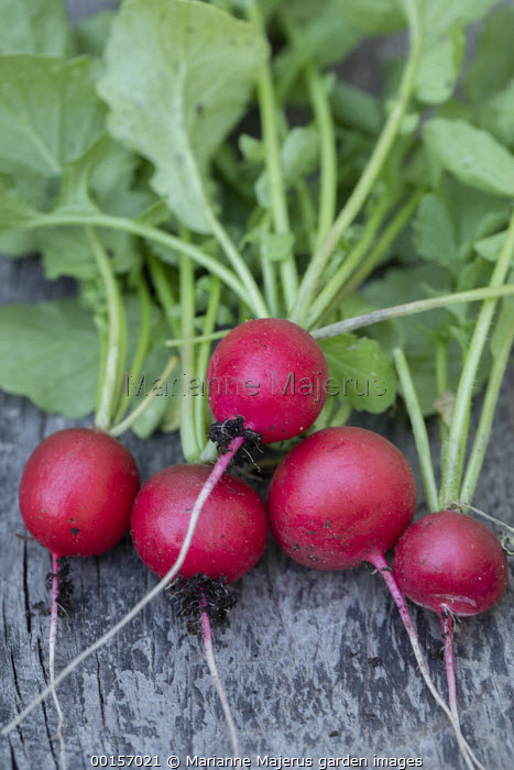 Harvested radishes 'Lucia' on wooden table
