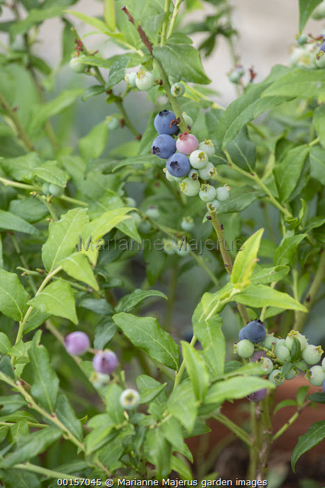 Blueberries in terracotta pot, Vaccinium corymbosum 'Bluecrop'