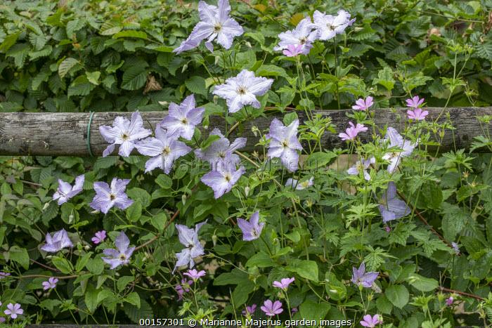 Clematis 'Blekitny Aniol', geranium