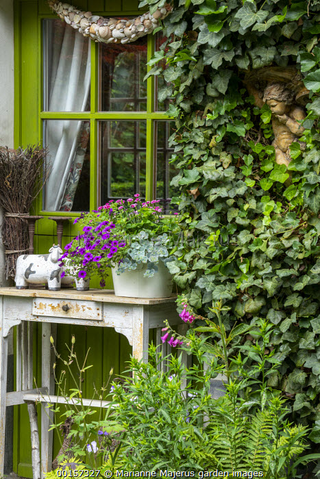 Ivy climbing over house wall, annuals in pot on rustic table, green painted window