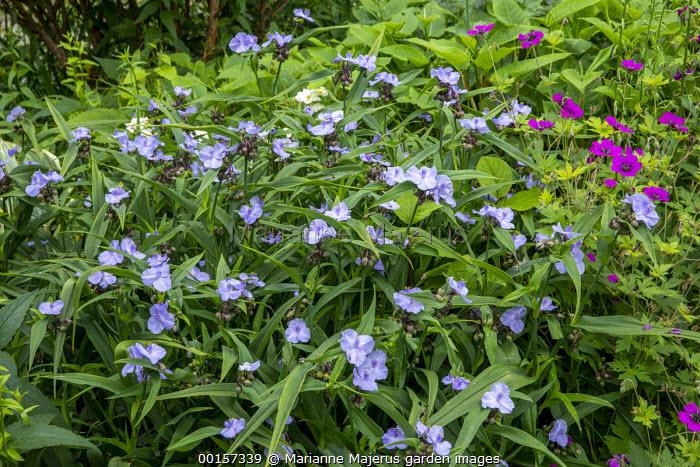Tradescantia (Andersoniana Group) 'Blue Stone', Geranium 'Anne Thomson'