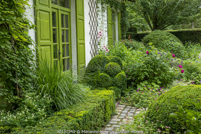 Clipped box topiary by door, low clipped box hedge, Corydalis ochroleuca, roses, hollyhocks, green painted doors and shutters