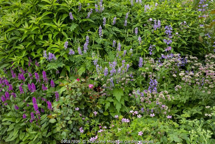 Geranium, Betonica officinalis 'Hummelo' syn. Stachys officinalis, Astrantia 'Roma', Galega x hartlandii 'Lady Wilson', Rosa 'Blue River'