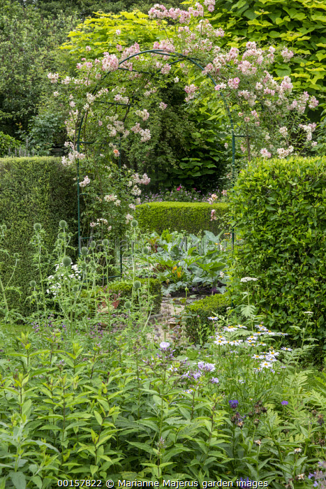 Rosa 'Phyllis Bide' climbing over metal arch, garden 'room', courgette, Echinops ritro