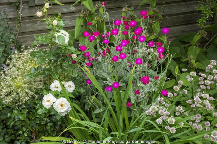 Lychnis coronaria, Astrantia 'Roma', allium seedheads, Rosa 'Petticoat'