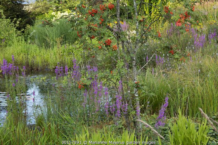 Sorbus, Lythrum salicaria