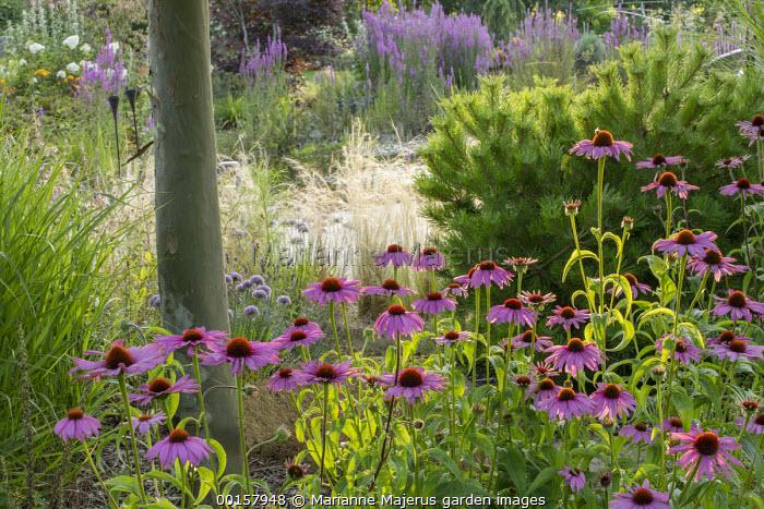 Echinacea purpurea under Platanus x acerifolia, Stipa tenuissima, pinus
