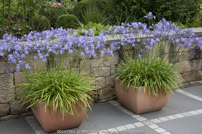 Agapanthus in large terracotta pots on stone patio