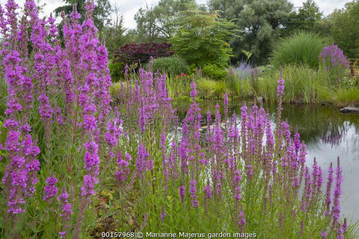 Lythrum salicaria by pond