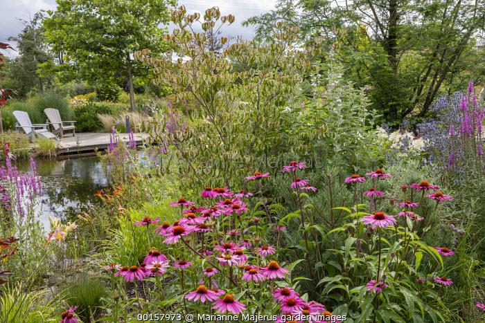 Echinacea purpurea, Heptacodium miconioides, Lythrum salicaria, eryngium, pinus, wooden Adirondack chairs on decking by pond