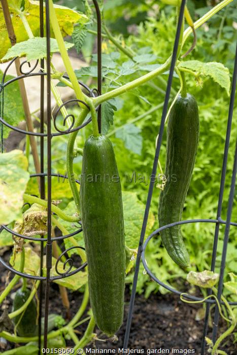 Cucumber 'Max' F1