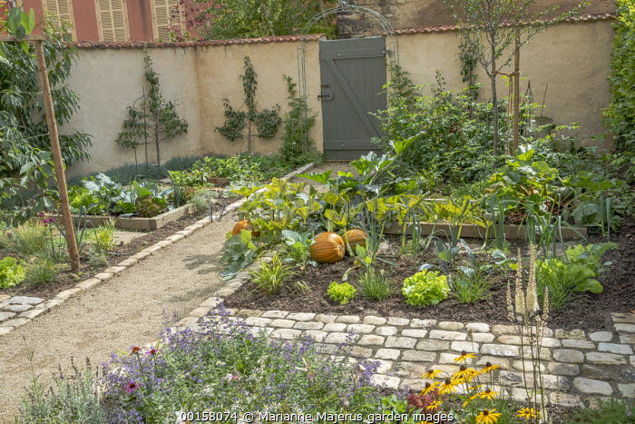Pumpkins in potager border with lettuces, rhubarb, courgettes, nepeta, Gaura lindheimeri, espalier trained fruit trees on rendered walls, path leading to gate
