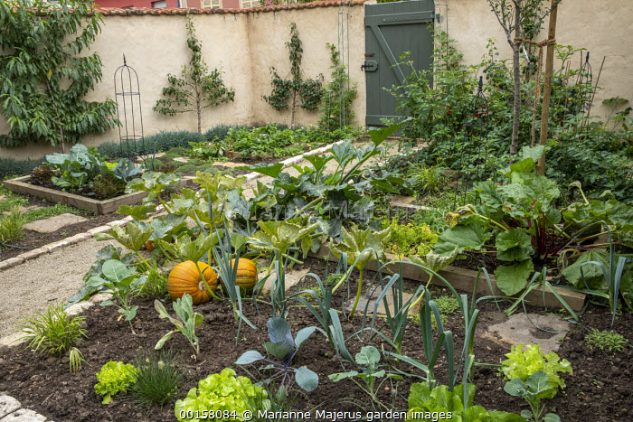 Pumpkins in potager border with lettuces