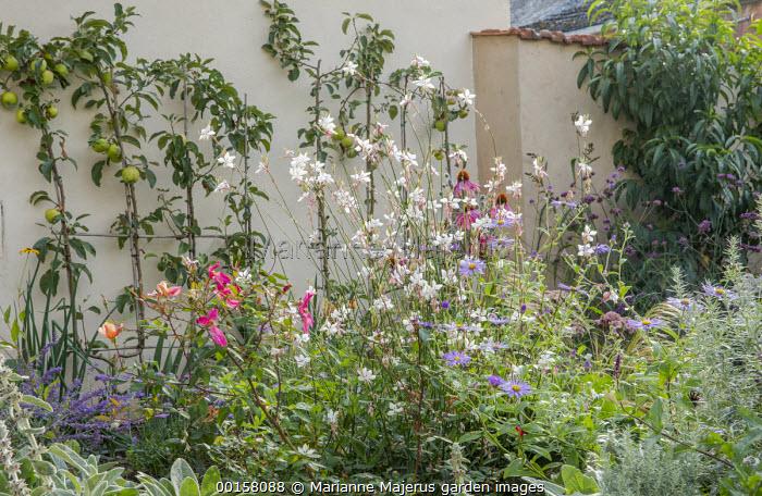 Gaura lindheimeri, aster, Rosa x odorata 'Mutabilis', Artemisia ludoviciana 'Silver Queen', double-U trained apple tree espaliers against wall, Malus domestica 'Golden Delicious'
