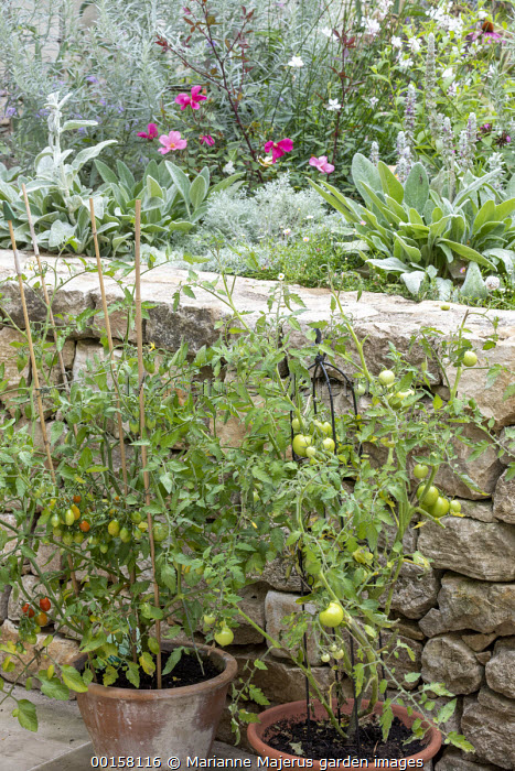 Tomatoes in terracotta pots on patio, stone wall, Stachys byzantina and Rosa x odorata 'Mutabilis' in raised bed