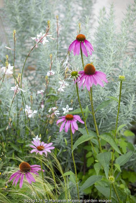 Echinacea purpurea, Gaura lindheimeri, Artemisia ludoviciana 'Silver Queen'