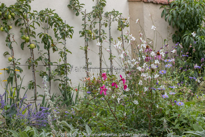 Rosa x odorata 'Mutabilis', Gaura lindheimeri, Stachys byzantina, aster, Echinacea purpurea, double-U trained apple tree espaliers against wall, Malus domestica 'Golden Delicious'