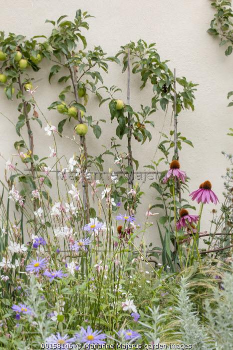 Double-U trained Malus domestica 'Golden Delicious' espalier against wall, Echinacea purpurea, Gaura lindheimeri, Artemisia ludoviciana 'Silver Queen' , aster