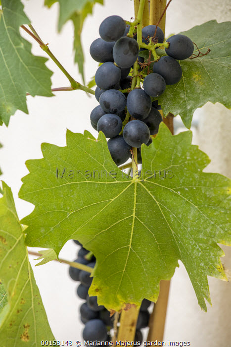 Grapes on vine trained on wall