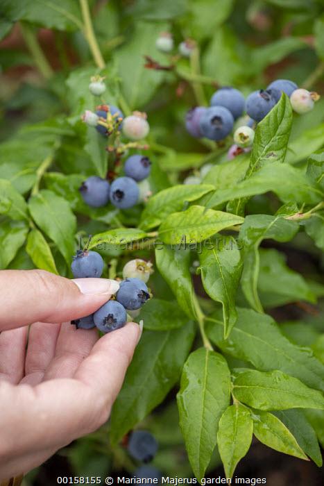 Person picking blueberries, Vaccinium corymbosum 'Bluecrop'