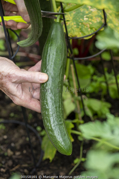Person harvesting Cucumber 'Max' F1