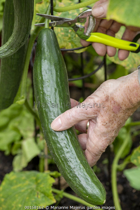 Person harvesting Cucumber 'Max' F1 with secateurs